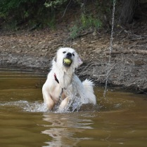 Water-dog